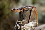 Arboreal Salamander (Aneides lugubris) female, Santa Cruz, Monterey Bay, California