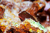 redlip blenny, Ophioblennius atlanticus, Grecian Rocks, Key Largo, Florida, Atlantic Ocean