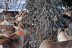 reindeers mostly feed themselves with lichens hidden under the snow and with ?slahppo?, a kind of black filamentous lichen growing on the trunks of pine or birch trees of the old forests. .Reindeer migration from Gallivare to the national parks of  Sarek and Stora Sjôfallet, 200 km west. Lapland, Sapmi, north of Sweden..