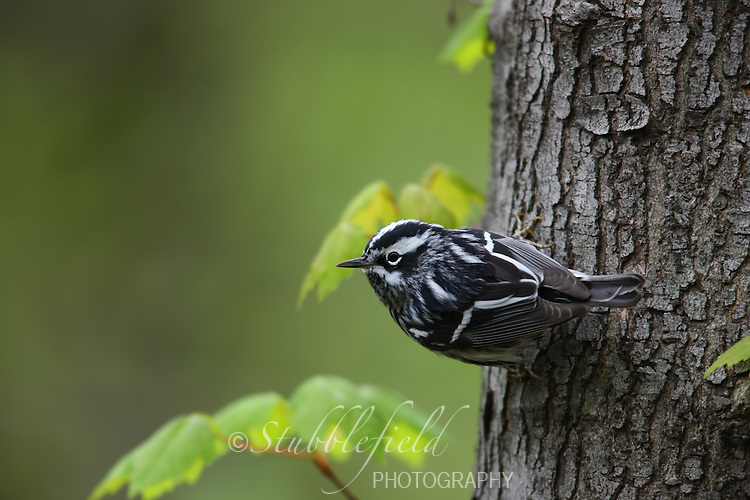 Black-and-white Warbler (Mniotilta varia), male Spring migrant on a tree trunk.