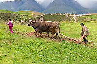 Peru, Moray, Urubamba Valley.  Quechua Farmer Plowing Land with Cattle.