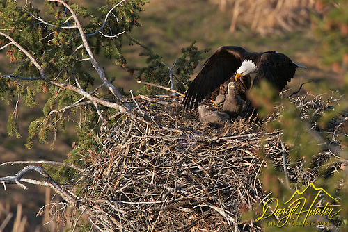 Bald Eagle leaving nest, chicks looing on