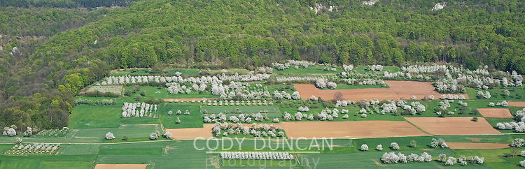 Spring fields with blossoming cherry trees, Franconia, Bavaria, Germany