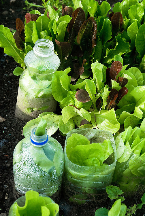 Homemade plastic bottle cloches protect young lettuce seedlings, early June.