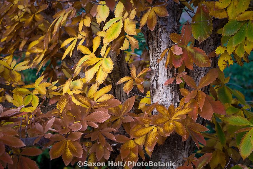Quercus mongolica, Mongolian oak tree leaves infall, autumn color at Quarryhill Botanic Garden