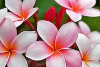 Plumaria or Frangipani bloom. Kauai, Hawaii