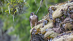 peregrine falcon (Falco peregrinus), Washington