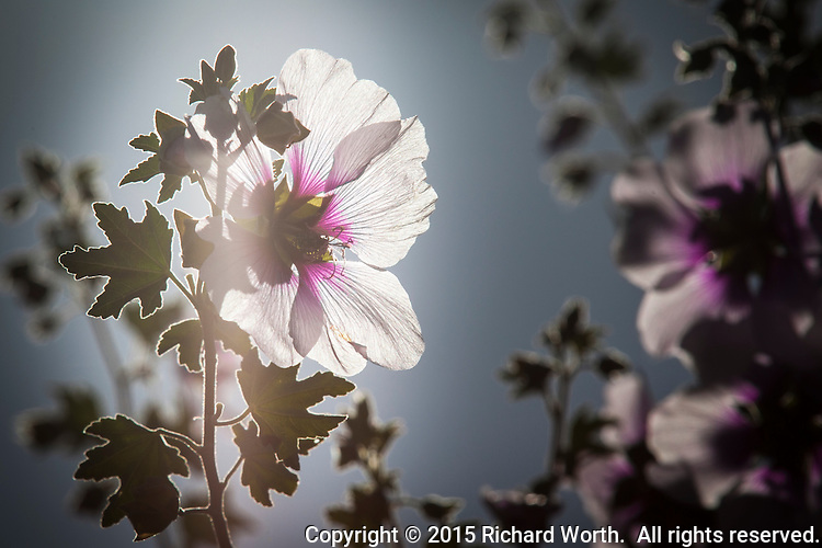 A white and purple blossom glows, backlit by the sun.  Flowering tree at the entrance to Oyster Bay Regional Shoreline, San Leandro, California.