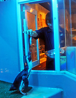 Sebastian is fed at the Penguin Izakaya Ryote in Tokyo.  The eight and nine year-old penguins have been in the restaurant that specializes in fish for the past six years. The three and a half kilo 70 cm tall birds are originally from South Africa and they get through 25 fish meals of horse mackerel and sardines each day.. .Photo by  Richard Jones/ Sinopix.