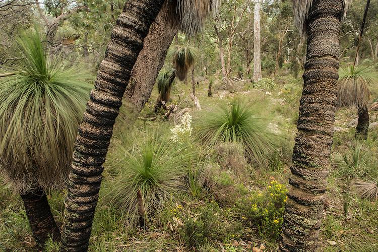 Grass trees in jarrah forest in Serpentine, Western Australia