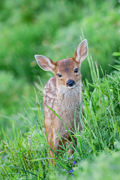 Columbian black-tailed deer (Odocoileus hemionus columbianus) fawn.  Pacific Northwest.  Summer.