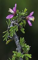 Guayacan, Guaiacum angustifolium, blossom, Starr County, Rio Grande Valley, Texas, USA, March 2002