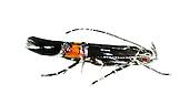 Cosmopterix pulchrimella<br /> 34.009 (0896b)