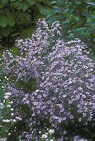 Aster cordifolius Blue Wood Aster aka Symphyotrichum cordifolium