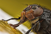 Fly drinking