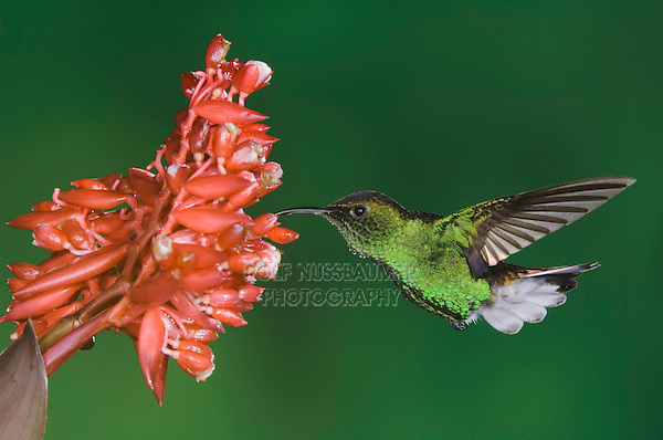 Coppery-headed Emerald, Elvira cupreiceps, male in flight on flower of the ginger family(Zingiberaceae), Central Valley, Costa Rica, Central America