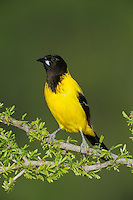 Audubon's Oriole (Icterus graduacauda), adult on Guayacan (Guaiacum angustifolium), Laredo, Webb County, South Texas, USA