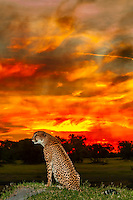Cheetah in front of a brilliant  sunset (intensified by a nearby fire),  Kwara Camp, Okavango Delta, Botswana.