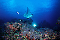 Manta Ray (Manta birostris) flys over some underwater photographers off the Island of Yap in Micronesia.