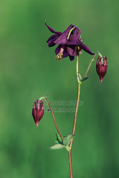 European Columbine, Aquilegia vulgaris, blooming, Oberaegeri, Switzerland, Europe