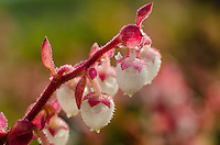 Salal or Shallon (Gaultheria shallon) flowers.  Pacific Northwest.