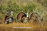"00845-05715 ""Rio Grande"" Wild Turkeys (Meleagris gallopavo) males/gobblers  Starr Co. TX"