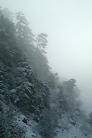 Fir trees covered with snow and surrounded by fog, Chabanon, French Alps, France.