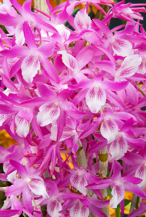 Orchids Dendrobium nobile pink and white flowers