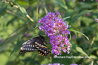 03009-01919 Black Swallowtail (Papilio polyxenes) male on Butterfly Bush (Buddleja davidii) Marion Co. IL