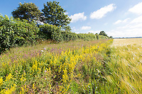 6m field margin with wild flowers - Norfolk, July