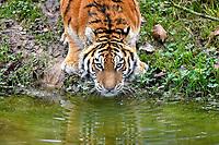 Siberian tiger, or Amur tiger, Panthera tigris altaica, dringking water, endangered species, Asia