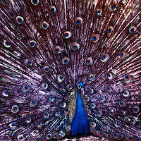 The male peacock is a real showman. Whether coming towards you or moving away you just have to gawk and laugh.<br />