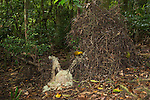 Golden Bowerbird bower with his lichen and flower arrangements.  Endemic to the Atherton Tablelands rainforest in altitudes above 700m is the Golden Bowerbird, Prionodura <br /> newtoniana. Although the smallest bowerbird in Australia, the male of this species builds the largest bower, an <br /> elaborate U-shaped bower, which he decorates with lichens and tiny white flowers. This bower serves as his <br /> seduction lair &ndash; singing his distinct song to attract his less flamboyant female.