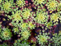 Close up of Mosaic Plant. Floating Leaves. Luguigia sedioides