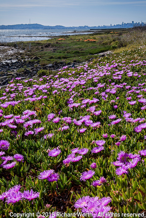 Flowering ice plant, sea fig, fills the foreground to overflowing with pink flowers - on the distant horizon is the San Fancisco skyline.