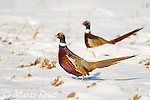 Ring-necked Pheasant (Phasianus colchicus) two males foraging in snow-covered field, New York, USA