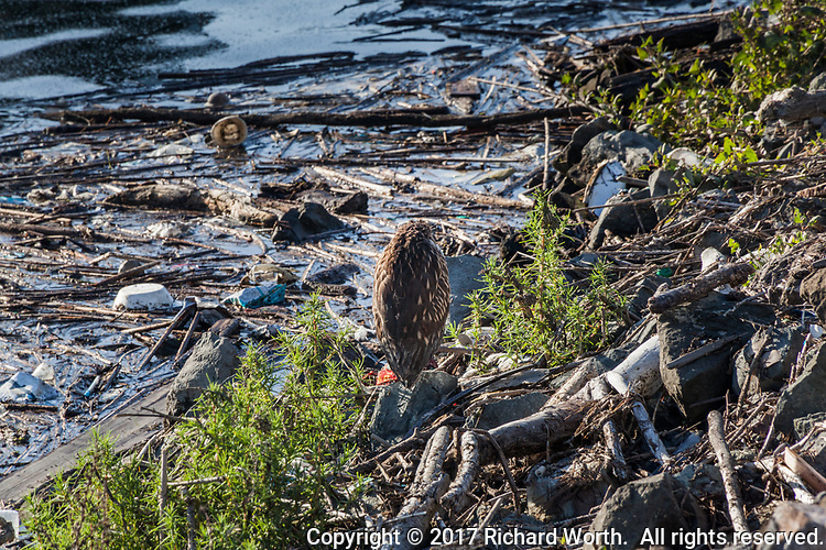 Close-up of a juvenile Black-crowned Night-heron, standing on a rock near the shore, blending into the surroundings, from a distance, nearly invisible.