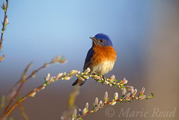 Eastern Bluebird (Sialia sialis), male perched amid pussy willow, New York, USA<br /> Slide # B136-102