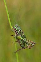 Warzenbeißer, Warzenbeisser, Männchen, Decticus verrucivorus, wart-biter, wart-biter bushcricket, male, Tettigoniidae
