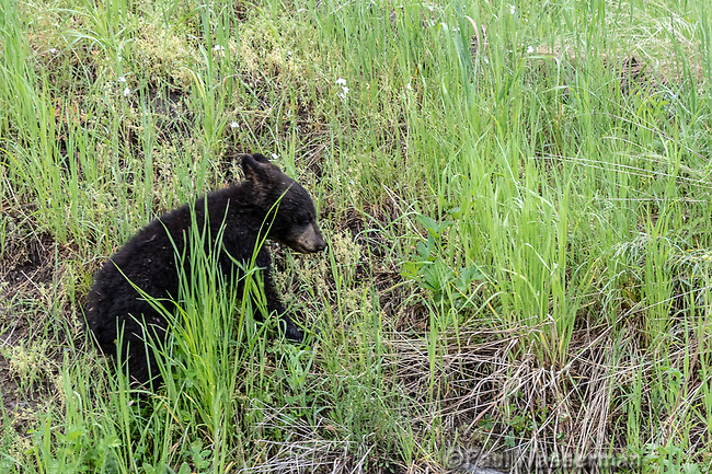 Black Bear cub at Yellowstone National Park, Wyoming