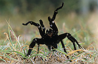 Tarantula, Aphonopelma sp., adult in defense pose, Starr County, Rio Grande Valley, Texas, USA, May 2002
