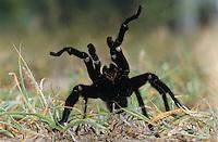 Tarantula, Aphonopelma sp., adult in defense pose, Starr County, Rio Grande Valley, Texas, USA, May 2002