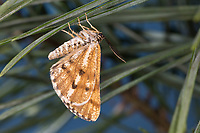 Kiefernspanner, Kieferspanner, Kiefern-Spanner, Gemeiner Kiefernspanner, Gemeiner Lichtwald-Kiefernspanner, Männchen, Bupalus piniaria, Bupalus piniarius, pine moth, pine looper moth, bordered white beauty, bordered white, pine looper, male, La Fidonie du pin ou Phalène, la pin, Spanner, Geometridae, looper, loopers, geometer moths, geometer moth
