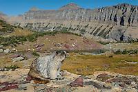 Hoary Marmot (Marmota caligata).  Glacier National Park, Montana.  Fall.
