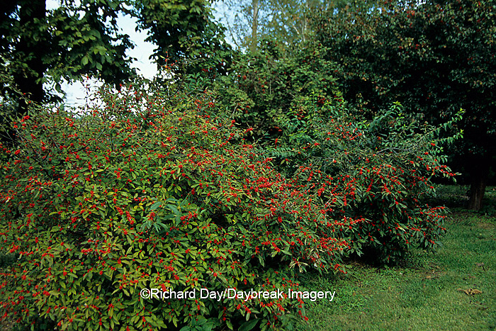 63808-02315 Common Winterberry bush (Ilex verticillata) with berries near Washington Hawthorn tree & American Cranberry bush in Marion Co.,  IL