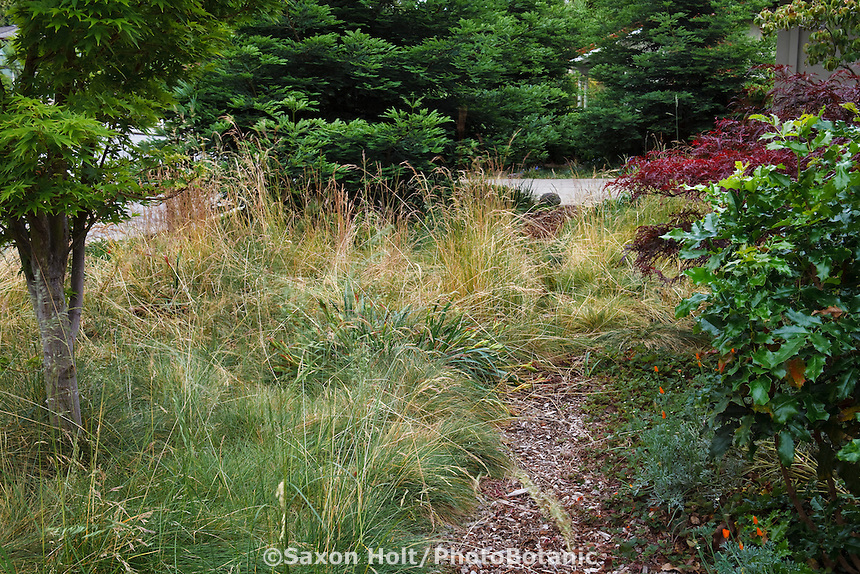 Small mulched path through front yard meadow lawn alternative with flowering grasses, Red Fescue (Festuca rubra 'Molate'), California native plant garden, Schino