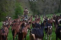 Europe/Europe/France/Midi-Pyrénées/46/Lot/ Théminettes: Troupeau de chêvres en pature à la Ferme: Chez Agnés et David - Fromages de chêvre AOC Rocamadour -Agriculture biologique
