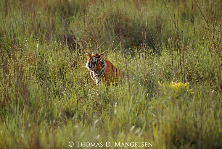 A bengal tiger sits in the tall grass in Bandhavgarh National Park, Madhya Pradesh, India.
