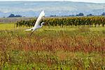Silberreiher, Great Egret, Ardea alba, Reiher, Ardeidae, Apetlon, Nationalpark Neusiedlersee, Seewinkel, Bezirk Neusiedl am See, Burgenland, Austria, Österreich.