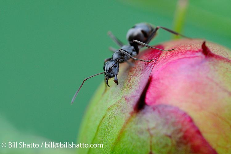 An ant on a peony bud.